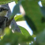 Коротко и ясно: Как помочь птенцу выпавшему из гнезда