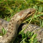Коротко и ясно: как с одного взгляда отличить безобидную змею от гадюки