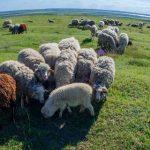 Как живут пастухи овчарни в Джурджулешть. На пастбище 265 овец и коз