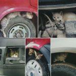 Вниманию автомобилистов: осторожно под машиной может греться бездомное животное
